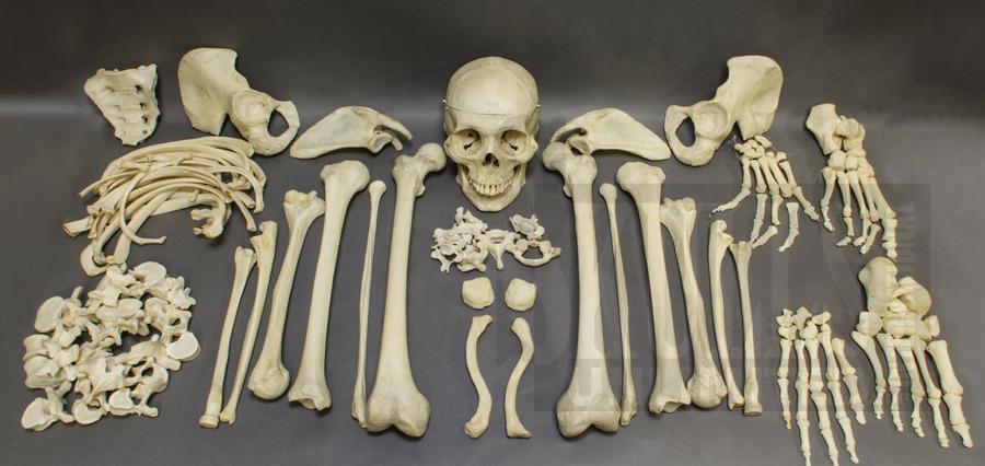 Real Human Skulls Human Skeletons And Individual Human Bones For Sale