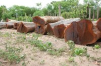 Sale of Brazilian Ebony / Guayacan on Logs