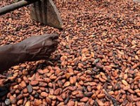Natural dry cocoa seed