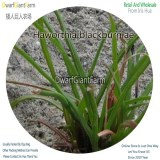 50Pcs A Set Haworthia blackburniae Seed DGF-S-HH009