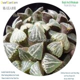 50Pcs A Set Haworthia emelyae major Seed DGF-S-HH033