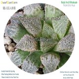 50Pcs A Set Haworthia emelyae var. major Seed DGF-S-HH035