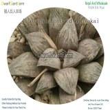 50Pcs A Set Haworthia hybrid Ginsekai Seed DGF-S-HH044