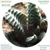 50Pcs A Set Haworthia limifolia Seed DGF-S-HH055