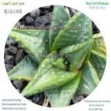 50Pcs A Set Haworthia limifolia var. arcana Seed DGF-S-HH052