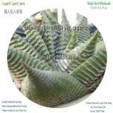 50Pcs A Set Haworthia limifolia var. gigantea Seed DGF-S-HH053