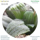50Pcs A Set Haworthia magnifica var. atrofusca Seed DGF-S-HH059