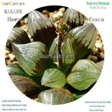 50Pcs A Set Haworthia magnifica v.atrofusca Seed DGF-S-HH058