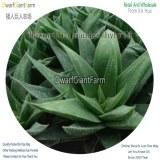 50Pcs A Set Haworthia mandas hybrid Seed DGF-S-HH060
