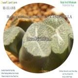 50Pcs A Set Haworthia maughanii CINDERELLA Seed DGF-S-HH065