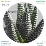 50Pcs A Set Haworthia minima var. poellnitziana Seed DGF-S-HH068