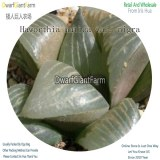 50Pcs A Set Haworthia mutica var. nigra Seed DGF-S-HH074