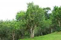 Grossiste exportateur pu erh et autres thés du Yunnan bio