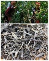Pu er tea ancient tea tree spring 2017 in bulk
