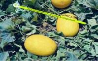 Canary yellow Melon