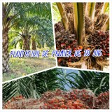 Palm plantation for sale in Grand-lahou in Ivory Coast