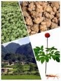 Producteur exportateur rhizomes et fleurs de panax notoginseng sanqi tianchi naturels bio