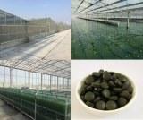 Organic certified spirulina and chlorella