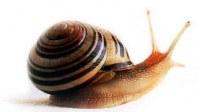 Alive snail (Helix aspersa Maxima)