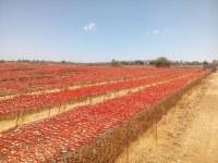Tomates séchées au soleil 1er choix