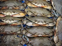 Fresh Live Soft shell Crab For Sale